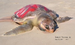 dead turtle pic shirley tillman